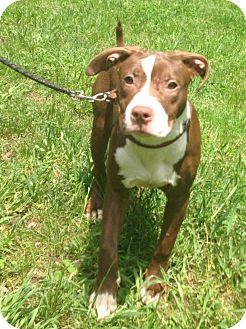 Labrador Retriever/Pit Bull Terrier Mix Dog for adoption in Bloomfield, Connecticut - Songbird