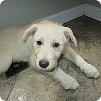 Adopt A Pet :: Dano - Apex, NC