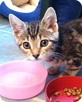 Domestic Shorthair Kitten for adoption in Winston-Salem, North Carolina - Evie