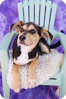 Hound (Unknown Type) Mix Puppy for adoption in Fort Lupton, Colorado - Shay