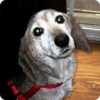 Adopt A Pet :: Berger - Newport, VT