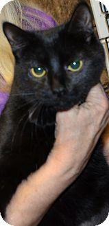 Siamese Cat for adoption in Taftville, Connecticut - Collette
