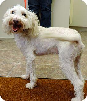 Havanese Mix Dog for adoption in Fremont, Nebraska - Homer