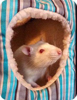 Rat for adoption in St. Paul, Minnesota - Professor Xavier