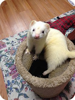 Ferret for adoption in Fawn Grove, Pennsylvania - Rocky