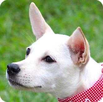 Toy Fox Terrier/Kishu Mix Puppy for adoption in San Francisco, California - Yuki