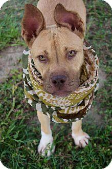 German Shepherd Dog/Pit Bull Terrier Mix Puppy for adoption in Elgin, Illinois - *Margo