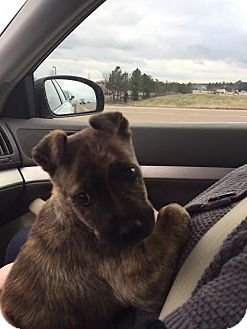Pug/Border Terrier Mix Puppy for adoption in HAGGERSTOWN, Maryland - Rigby