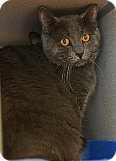 Domestic Shorthair Cat for adoption in Gardnerville, Nevada - Paul