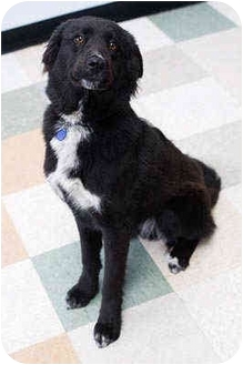 Border Collie Mix Dog for adoption in Portland, Oregon - Lilly
