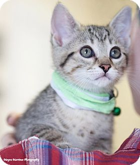 Domestic Shorthair Kitten for adoption in Homewood, Alabama - Cersei