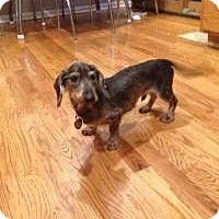 Adopt A Pet :: Bob Marley - Shawnee Mission, KS