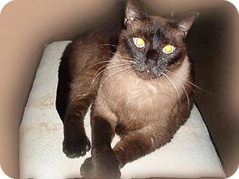 Polydactyl/Hemingway Cat for adoption in Walnut Creek, California - Manny