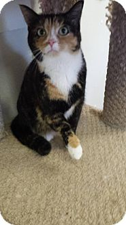 Domestic Shorthair Cat for adoption in Owenboro, Kentucky - ROXETTE!