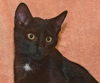 Domestic Shorthair Cat for adoption in Elmwood Park, New Jersey - Pepsi