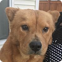 Adopt A Pet :: Ginger - Tumwater, WA