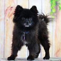 Pomeranian Dog for adoption in Dallas, Texas - Asher