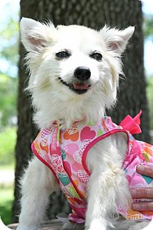 Pomeranian Mix Dog for adoption in Gulfport, Mississippi - Sabee