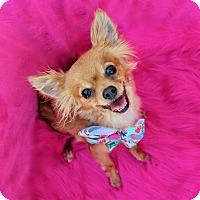 Chihuahua/Pomeranian Mix Dog for adoption in Irvine, California - Pippi