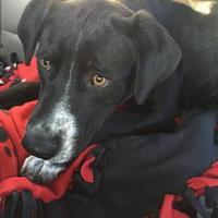 Adopt A Pet :: Piper - justin, TX