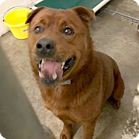 Chow Chow Mix Dog for adoption in Cleveland, Tennessee - Bandit