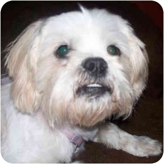 Lhasa Apso Dog for adoption in Westfield, New York - Janie