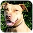 Photo 1 - American Pit Bull Terrier/Vizsla Mix Dog for adoption in Los Angeles, California - Edee