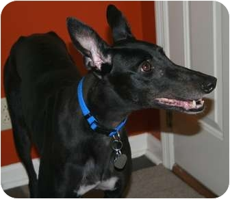 "Greyhound Dog for adoption in Smyrna, Tennessee - Bartscasinoqueen ""Olive"""