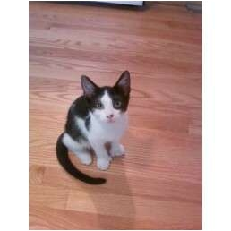 Polydactyl/Hemingway Kitten for adoption in West Dundee, Illinois - Freckles