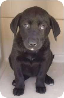 Labrador Retriever Mix Puppy for adoption in Long Beach, California - DAISY