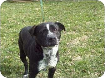 Labrador Retriever/Boxer Mix Puppy for adoption in Harrisonburg, Virginia - Reuben ($325 reduced)