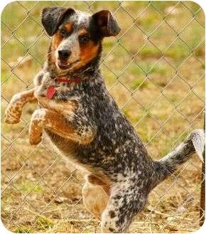 Australian Cattle Dog/Beagle Mix Dog for adoption in Staunton, Virginia - Owl