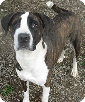 St. Bernard/American Staffordshire Terrier Mix Dog for adoption in Hayden, Idaho - Woogie