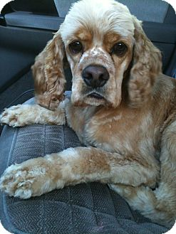 Cocker Spaniel Dog for adoption in Tacoma, Washington - WRIGLEY