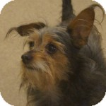 Yorkie, Yorkshire Terrier Mix Dog for adoption in Eatontown, New Jersey - Spike