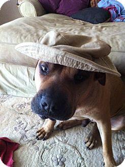 Shar Pei/Rhodesian Ridgeback Mix Dog for adoption in Apple Valley, California - Tanner