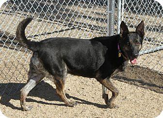 Cattle Dog/German Shepherd Dog Mix Dog for adoption in Phoenix, Arizona - Frannie