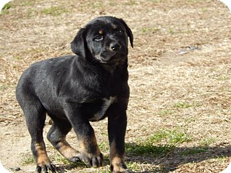 Labrador Retriever/Rottweiler Mix Puppy for adoption in Westport, Connecticut - Delilah