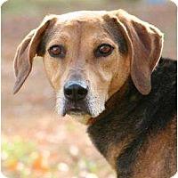 Beagle Mix Dog for adoption in Matthews, North Carolina - Dan