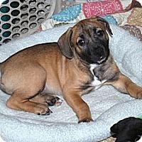Adopt A Pet :: Gunner - Minneola, FL