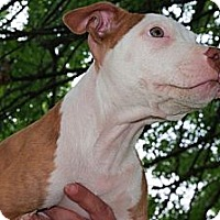 Adopt A Pet :: Joey - Reisterstown, MD