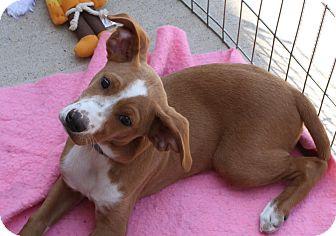 Beagle/Shepherd (Unknown Type) Mix Puppy for adoption in Staunton, Virginia - Toby