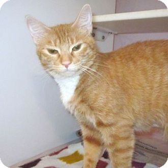 Domestic Shorthair Cat for adoption in Lyons, New York - Saraphina