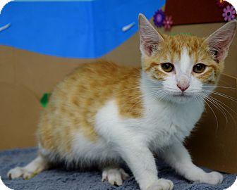 Domestic Shorthair Kitten for adoption in Bradenton, Florida - Huxley