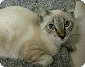 Siamese Kitten for adoption in Germantown, Maryland - Skyler