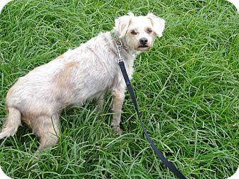 Yorkie, Yorkshire Terrier/Terrier (Unknown Type, Medium) Mix Dog for adoption in Palmetto Bay, Florida - Harry