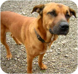 German Shepherd Dog/Rhodesian Ridgeback Mix Dog for adoption in Portland, Oregon - Bruiser