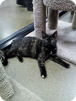 Domestic Shorthair Cat for adoption in Irwin, Pennsylvania - Emmie