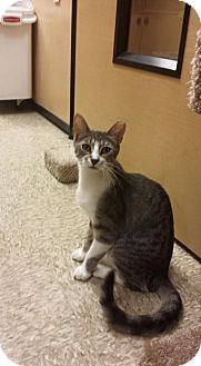 Domestic Shorthair Cat for adoption in Sterling Heights, Michigan - Jake-ADOPTED