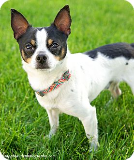 Toy Fox Terrier/Chihuahua Mix Dog for adoption in Worcester, Massachusetts - Chewie 7.5 pounds of  Love